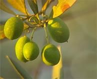 Viniferamine Ingredients - Olive Extract (Oleuropein)