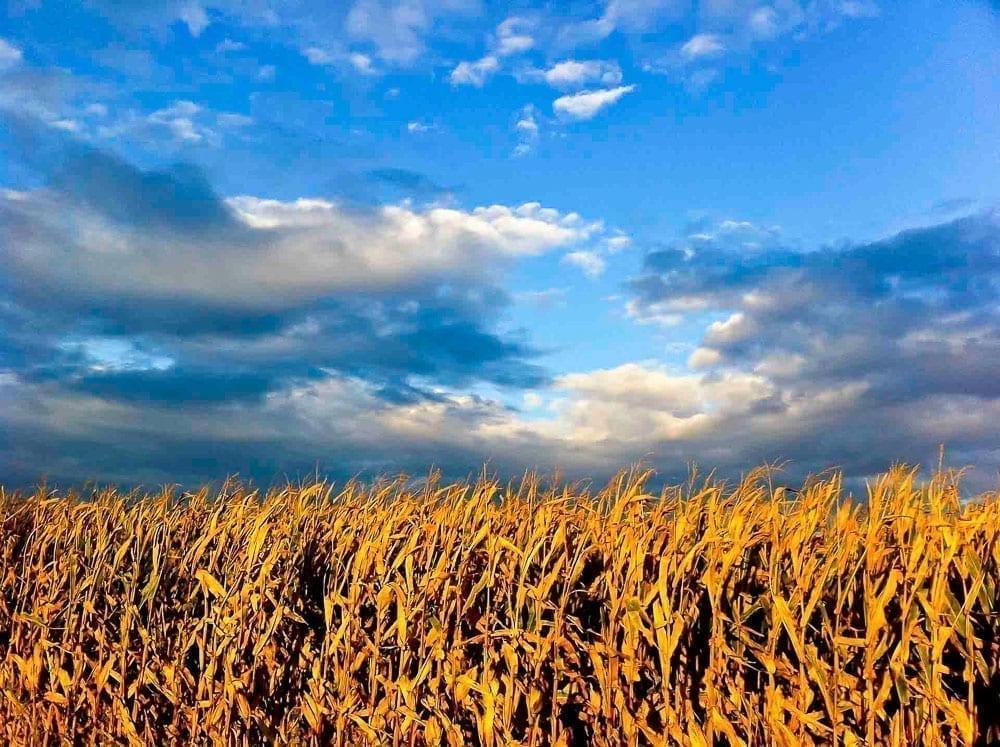 Iowa 2011 corn